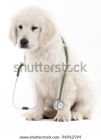 golden retriever puppy holding a stethoscope on a white background