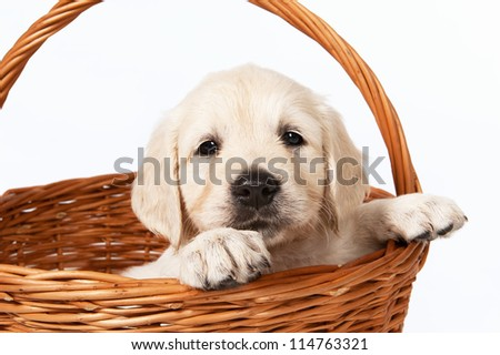 Golden retriever puppy in a basket on a white background