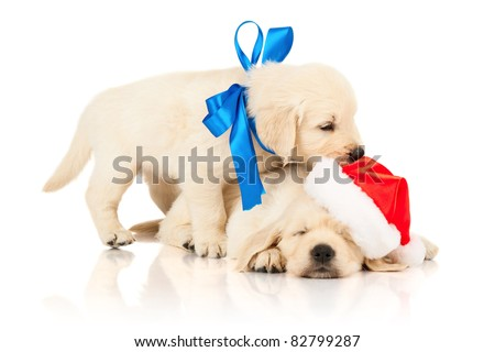 golden retriever puppy in a  Santa Claus hat