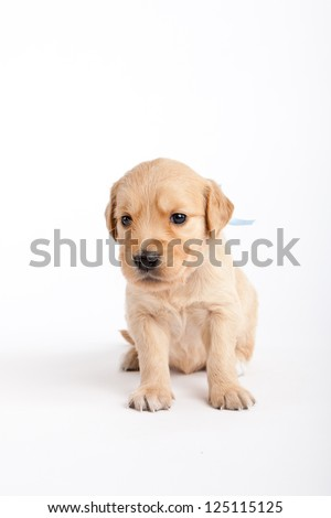 Golden retriever puppy in front of white background