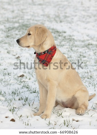 golden retriever puppy playing. stock photo : Golden retriever