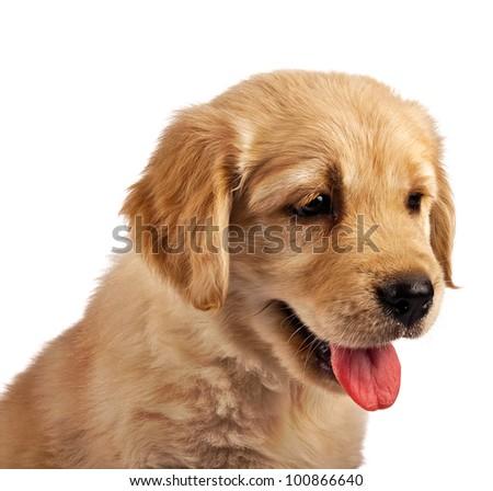 Golden retriever puppy isolated on white - stock photo