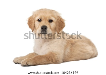 Golden Retriever puppy, 2 months old, lying against white background
