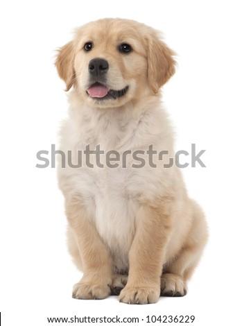 Golden Retriever puppy, 2 months old, sitting against white background