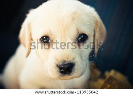 Golden Retriever Puppy Of 7 Weeks Old / Labrador Retriever Puppy