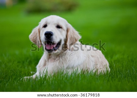 Golden retriever puppy on the green grass