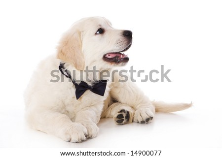 golden retriever puppy pics. stock photo : Golden retriever