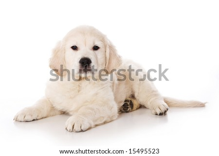 golden retriever puppy pictures. stock photo : Golden retriever