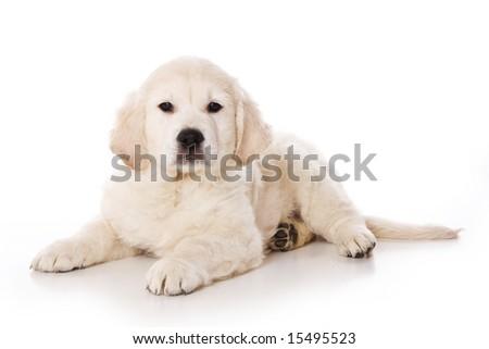 golden retriever puppy pictures. stock photo : Golden retriever