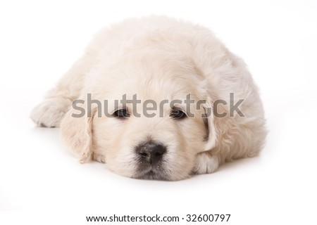 golden retriever wallpaper. stock photo : Golden retriever