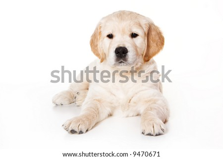 cute golden retriever wallpaper. stock photo : Golden retriever