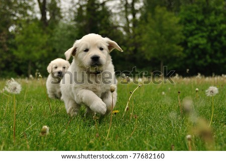 Golden retriever puppy running outdoor