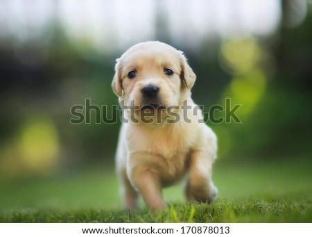 Golden Retriever Puppy Running Towards The Camera Ez Canvas