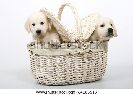 Golden Retriever puppy's in basket