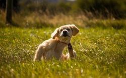 Golden Retriever puppy scratching in field dog