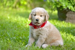Golden Retriever puppy seven weeks old, sitting in yard