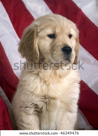 8 week old golden retriever puppy pictures. Golden Retriever puppy (8