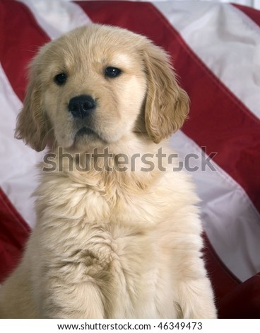 Golden Retriever puppy who is 8 weeks sits with a red and white striped background from an American Flag