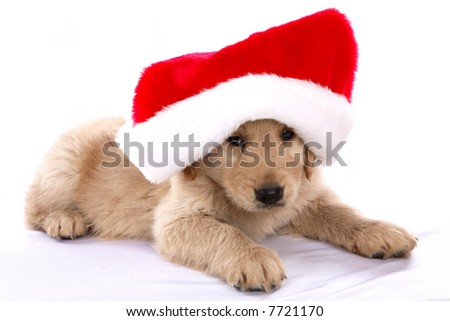 Golden Retriever puppy with a Santa hat on