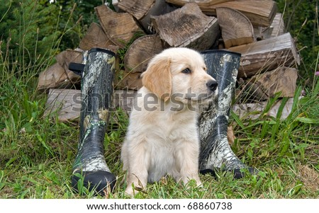 golden retriever puppy with hunting boots