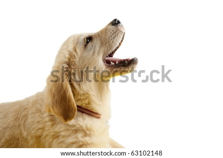 Golden retriever puppy with open mouth isolated on white