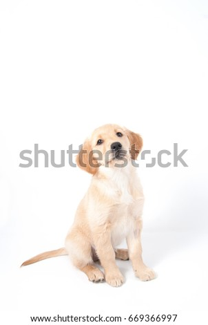 Golden Retriever puppy with proud face expression  #669366997