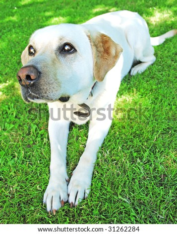 Golden retriever recumbent outside on green grass