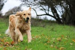 Golden Retriever Running in a Field with a Ball
