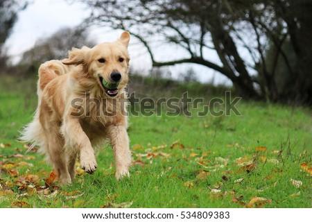Golden Retriever Running in a Field with a Ball #534809383
