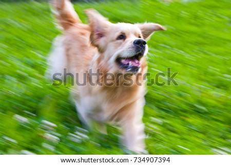 golden retriever running on the summer lawn, funny playfull dog #734907394