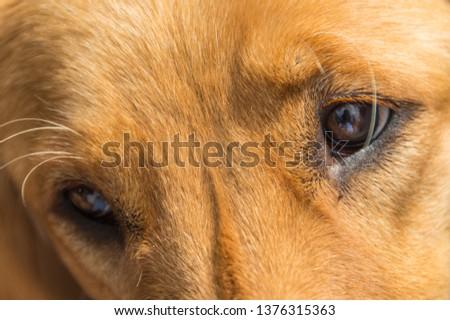 Golden retriever's brown beautiful eyes close up #1376315363