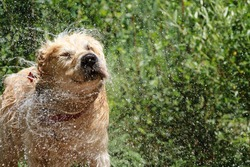 Golden Retriever shaking off water after a bath on a mountain river