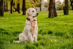Golden retriever sits in the park on the grass in autumn.