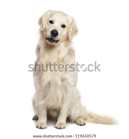 Golden retriever sitting and looking at camera against white background