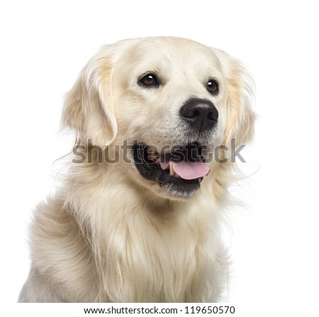 Golden retriever sitting and looking away against white background