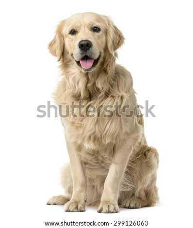 Golden Retriever sitting in front of a white background ストックフォト ©