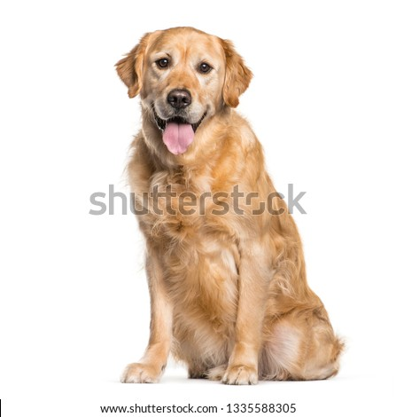 Golden Retriever sitting in front of white background #1335588305