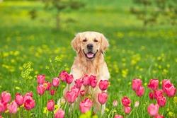 Golden Retriever sitting in tulip flower fields
