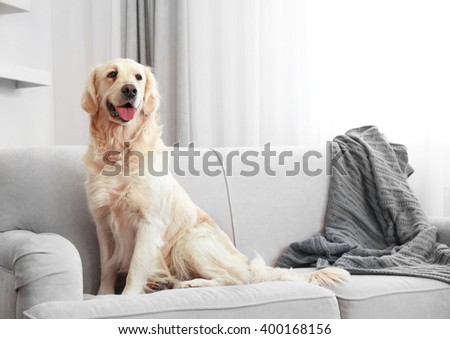 Golden retriever sitting on a sofa at home
