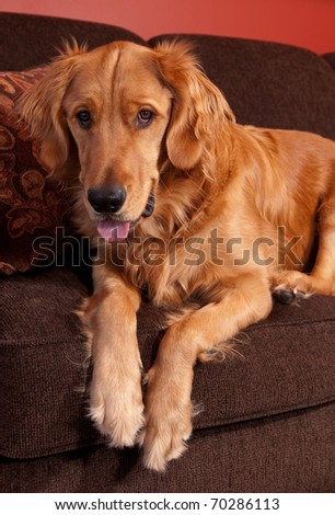 Golden Retriever sitting on the edge of a sofa looking down.