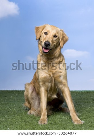 Golden Retriever sitting on the grass (1 year old) against blue sky