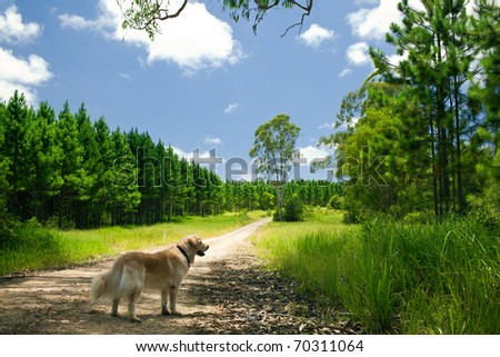 Golden retriever standing on a path to a forest