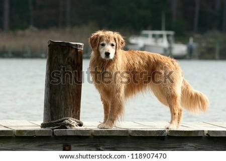Golden Retriever Standing on Dock