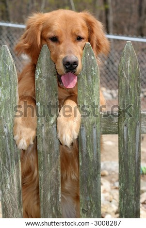 golden retriever standing up behind fence