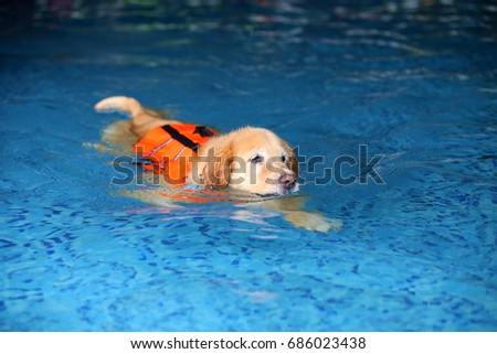 Free Photos Golden Retriever Dog Wear Life Jacket In Swimming Pool