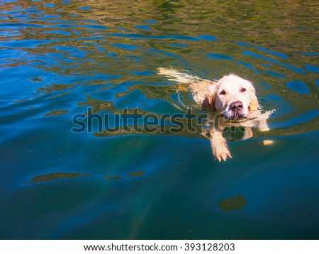 golden retriever swimming in a lake #393128203