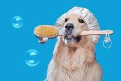 Golden retriever with bath sponge looking up