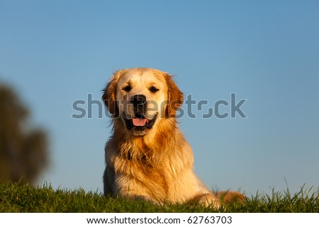 Golden Retriever with clear blue sky