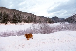 Golden retriever with dark red coat standing in the snow with forlorn expression in the Jacques-Cartier National Park during a blue hour morning, Stoneham-et-Tewkesbury, Quebec, Canada