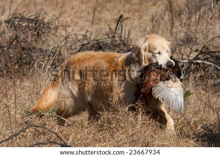 Golden Retriever with pheasant retrieved during field trial competition